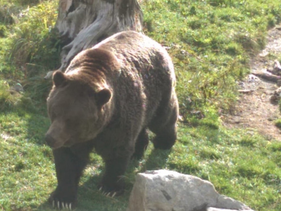 Grizzly 😀 Doch noch ! Zum Abschluss von Kanada 😃