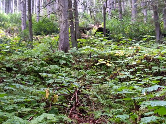 nordischer Regenwald